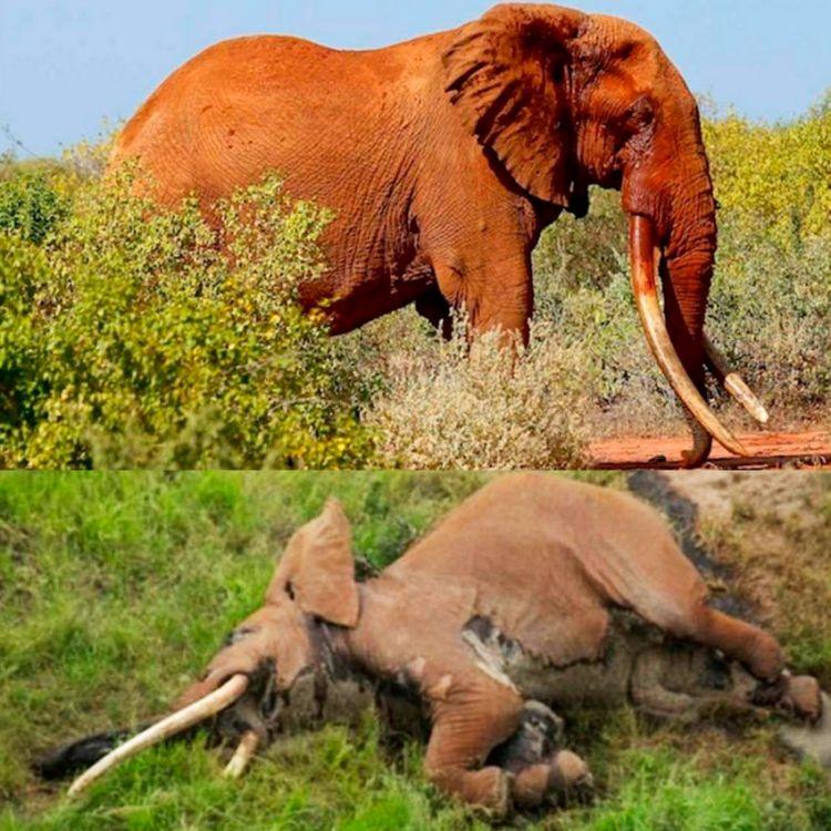 Cazadores furtivos mataron uno de los últimos elefantes de colmillos gigantes