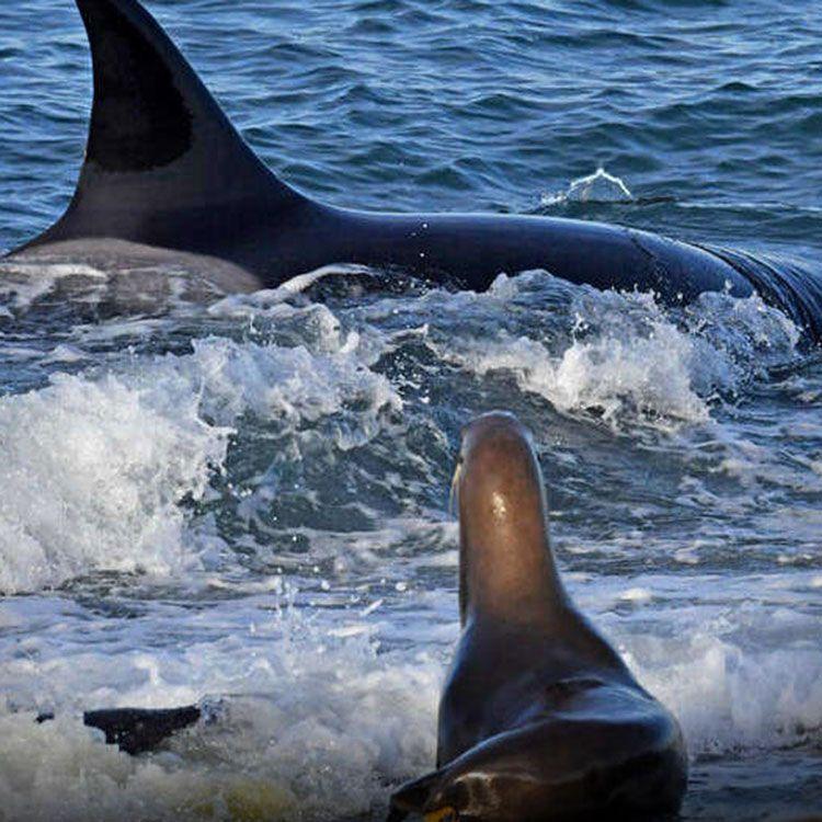 El ataque de orcas a lobos marinos, el nuevo imán para turistas y científicos en la Patagonia