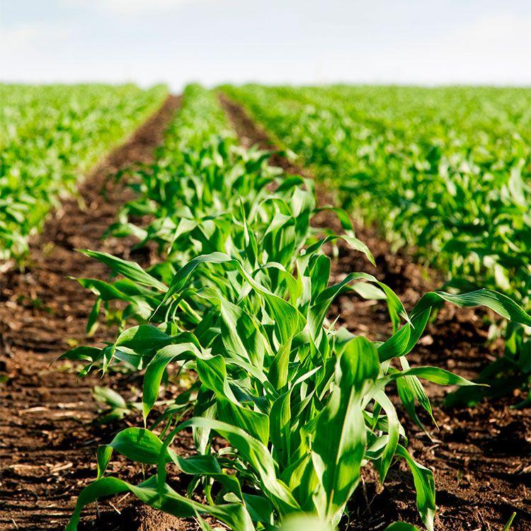 En Santa Fé avanza a buen ritmo la cosecha de soja, maíz, sorgo y algodón