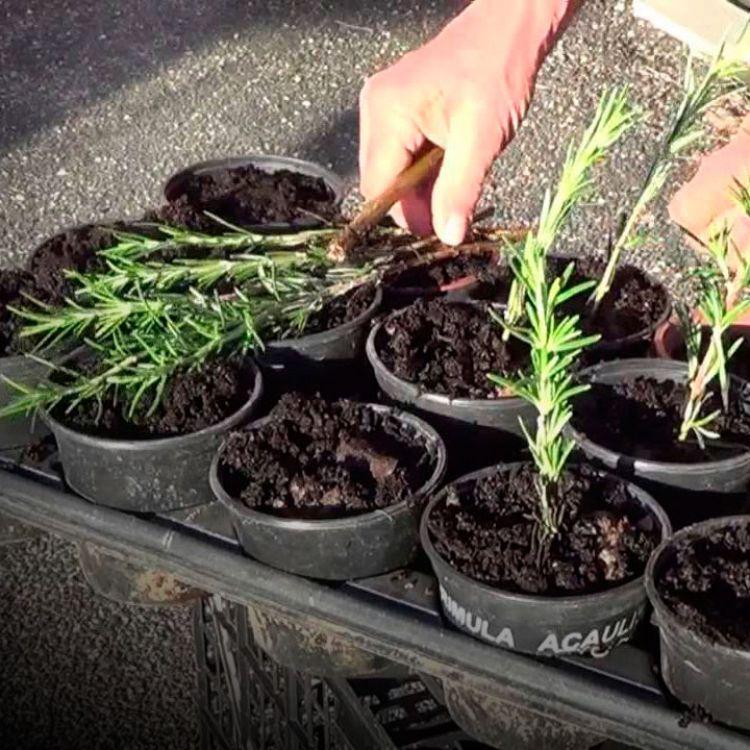 ¿Cómo cultivar romero de gajo?