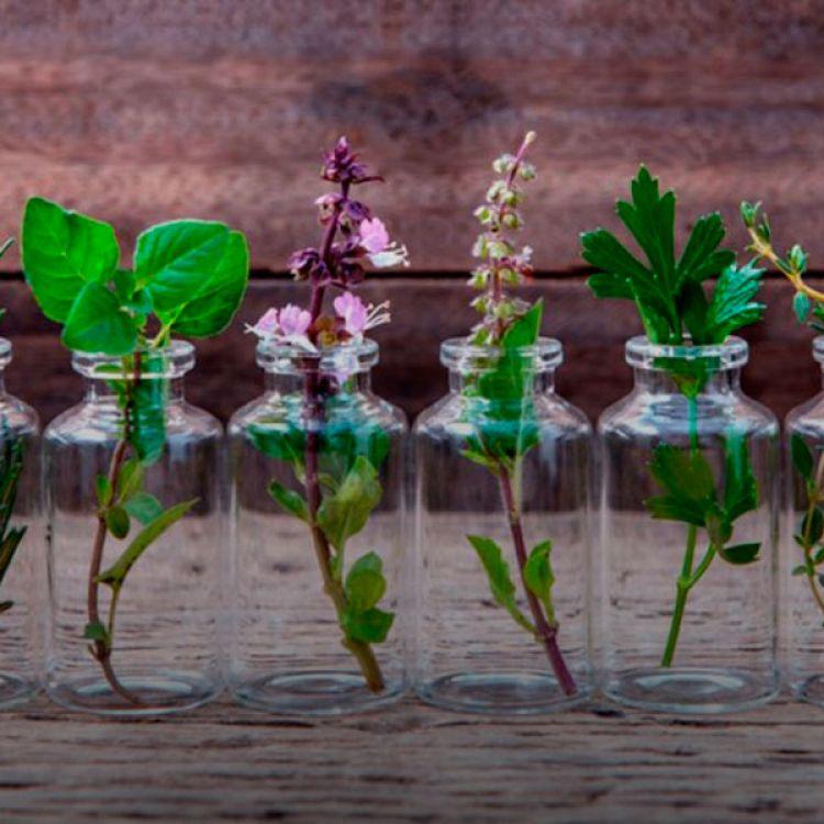 ¿Cómo cultivar hierbas aromáticas en agua?