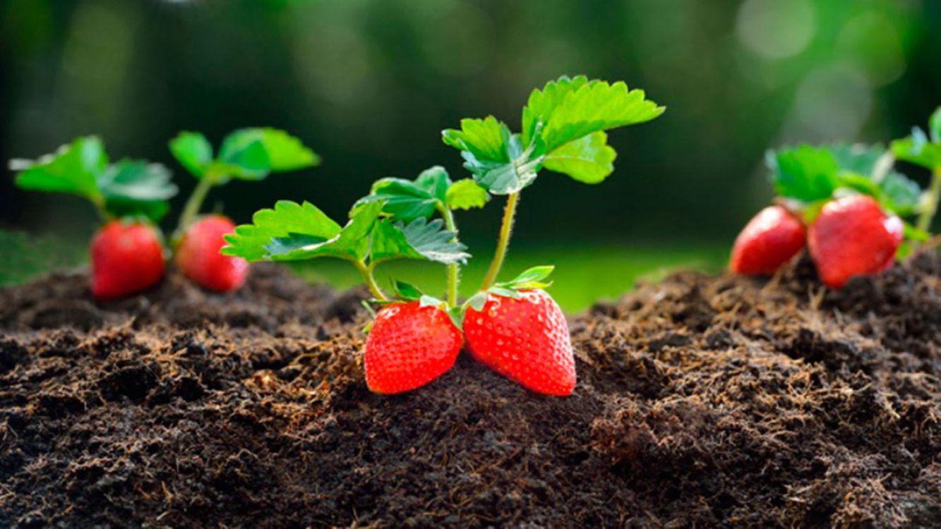Cultivo de Frutillas en Jujuy