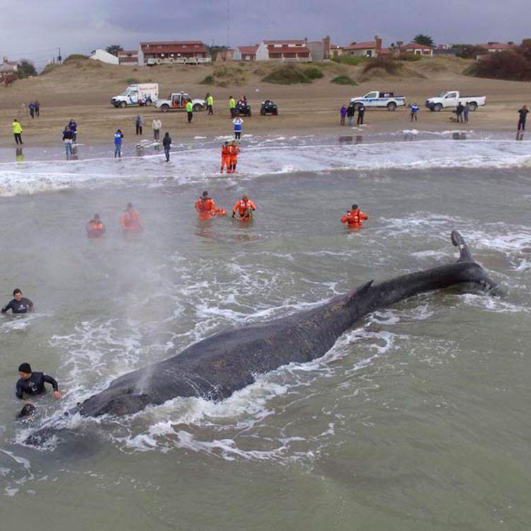 Encalló una ballena en Mar del Tuyú e intentan rescatarla