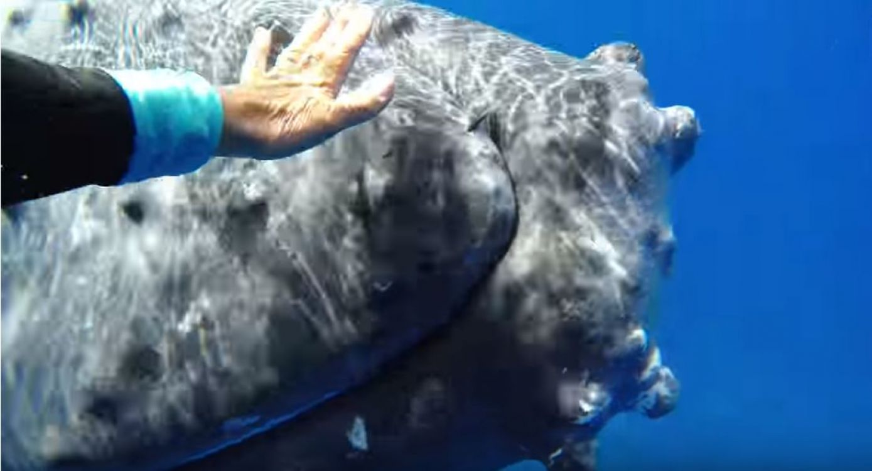 Ballena protege a una buzo de la amenaza de un tiburón. Video
