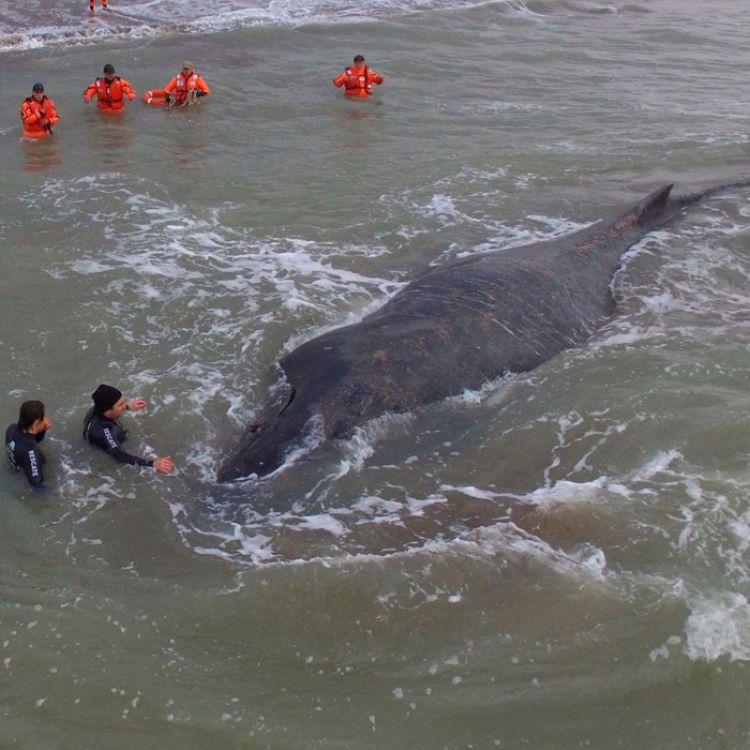 Con ayuda de la marea fue rescatada la ballena encallada en Mar del Tuyú