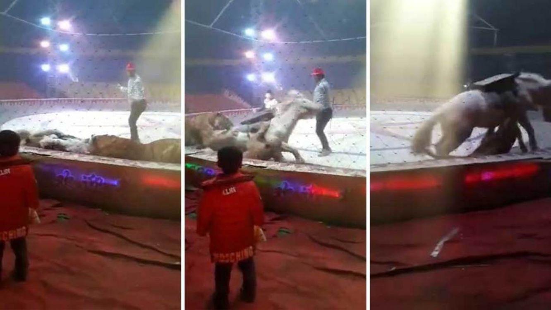 Terrible: Un caballo fue atacado por un tigre y una leona en plena función de circo. Video