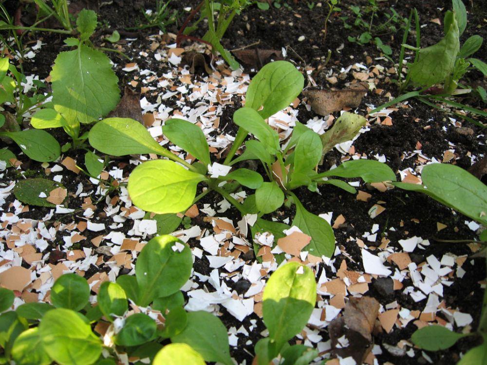 ¿Por qué echar cáscaras de huevo a las plantas?
