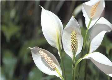 Spathiphyllum sp. Espatifilo, flor de la paz, vela del viento, flor de muerto