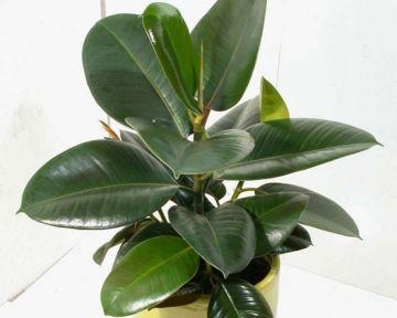 Ficus robusta, Árbol del caucho