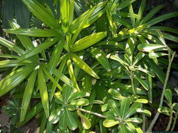 Raphis excelsa. Palmera de bambú o palmera china