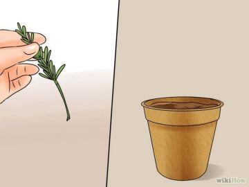 Como cultivar el romero.