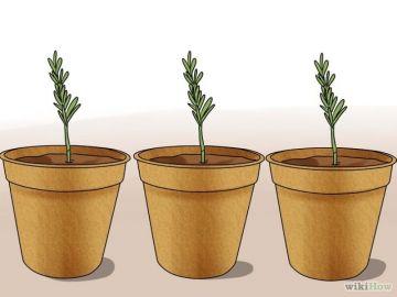 Armar los plantines de romero