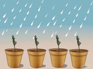 Riega el romero con poca frecuencia, en lo posible con agua de lluvia
