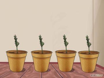 Resguarda los plantines de romero del frío
