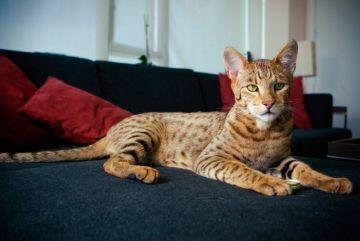 Gato de ashera